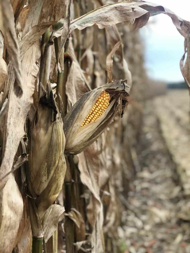 picture of a ear of corn in a corn field that is ready to harvest